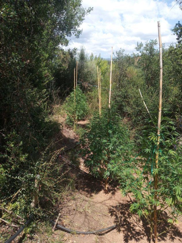 Ανδρίτσαινα: Εντοπίστηκε οργανωμένη φυτεία δενδρυλλίων κάνναβης σε χωριό της περιοχής - Σύλληψη ενός ατόμου (photos)